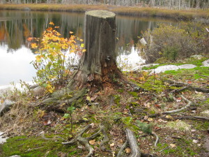The death of this tree stump nourishing the next cycle of growth in Nature.